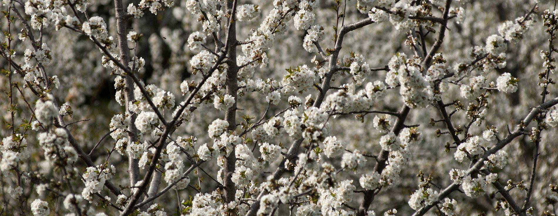 Conyegar primavera